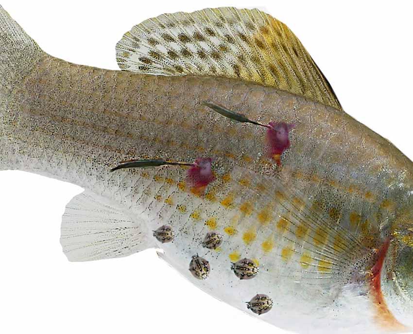 fonalféreg hal dr oz máj méregtelenítő kiegészítő