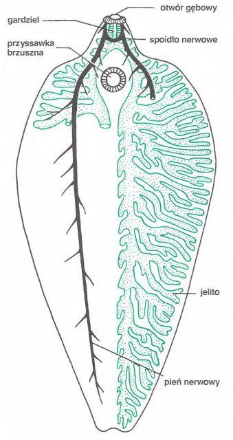 Platyhelminthes biológia
