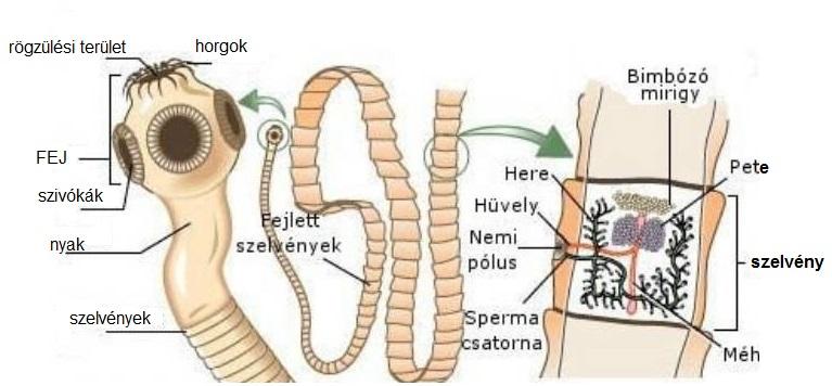 szabadon élő paraziták galandféreg szaporodasa