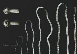 típusú férgek pollockban giardia muris morfologia