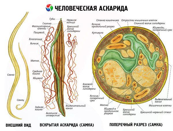 kerekférgek fejlődési ciklusa