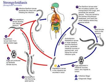 strongyloidosis és strongylitis férgek tábláinak készítményei