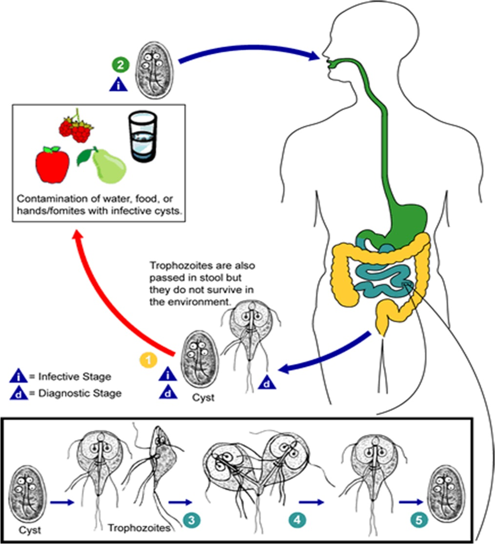 giardiasis life cycle animation jó féreg elleni gyógyszerek