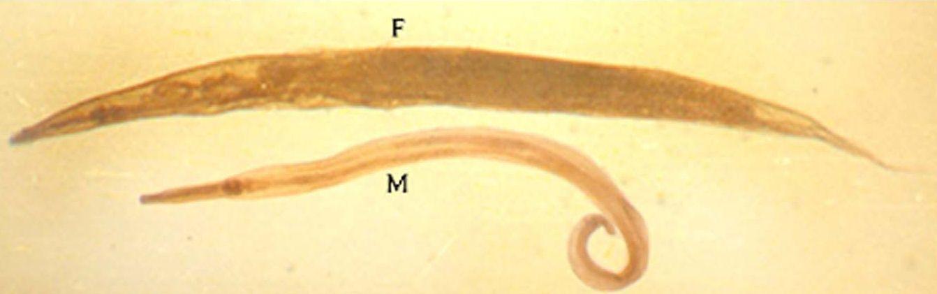 flush a pinworm tojás