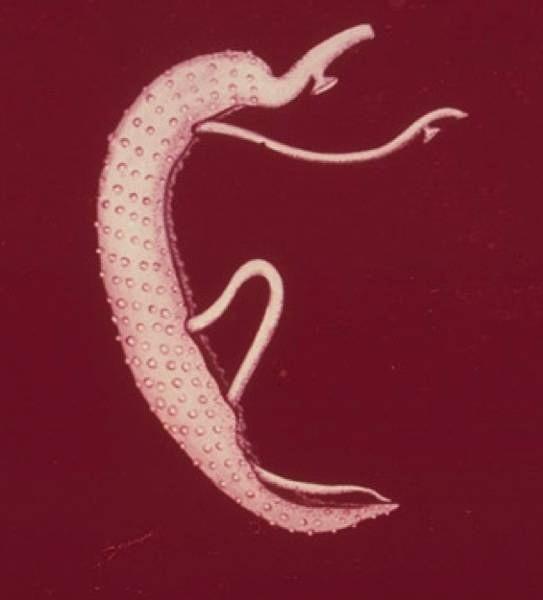 Paraziták és férgek fejlődési ciklusa