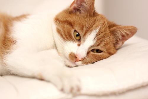 giardiasis gatos metronidazol