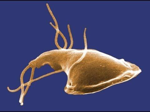 bacteria giardia simptome hogyan lehet kenet eltávolítani a húgycsőből férfiakon