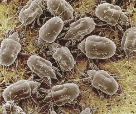 külső paraziták tabletták férgek milprazon