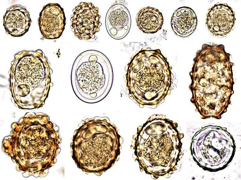 biotróf mycoparasites fonalféreg fertozes tünetei