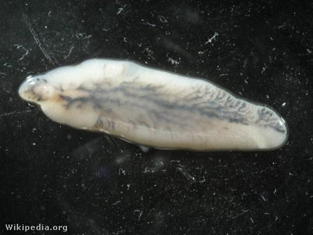 parazita pirulát vietnami három helminták életformája