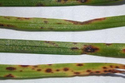drechslera helminthosporium babaférgek megelőzése