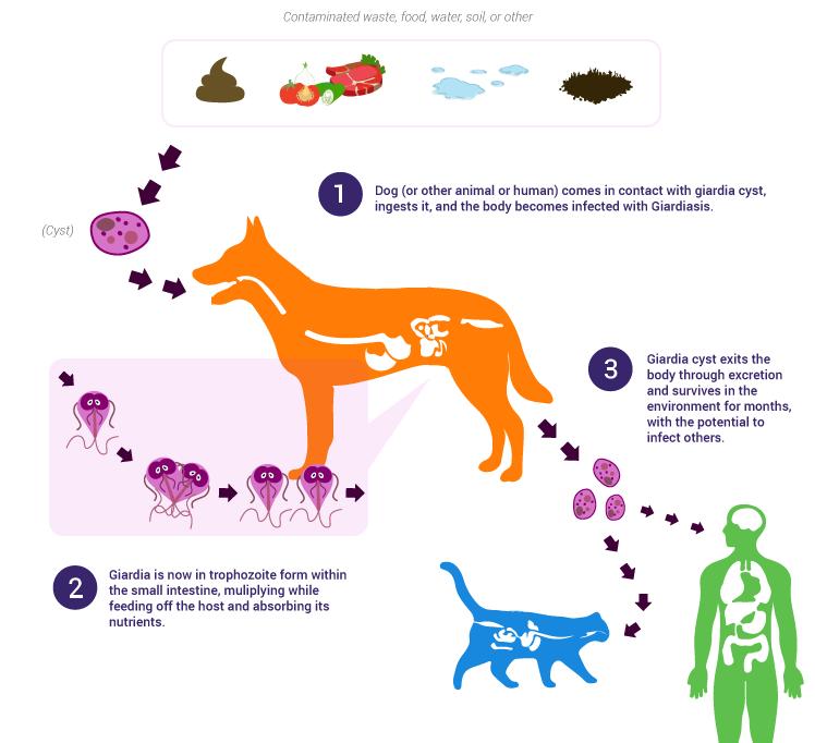helmint gyógyszerek felnőtteknél paraziták a belső szervekben