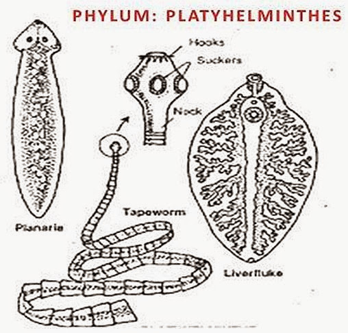 platyhelminthes phylum chart does giardia cause bloody diarrhea