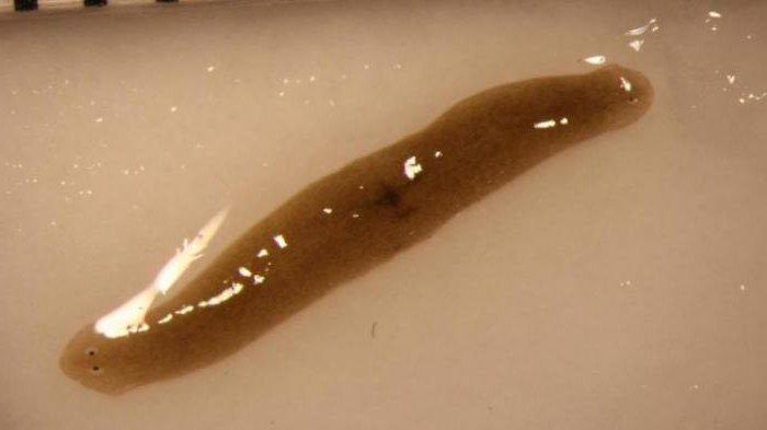 monogén paraziták kezelése gyógynövény férgek számára etetés közben