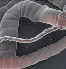 széles szalaggal az emberek és a paraziták