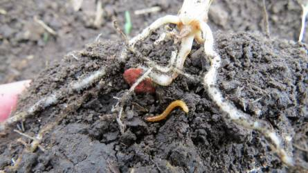 drotfereg larva