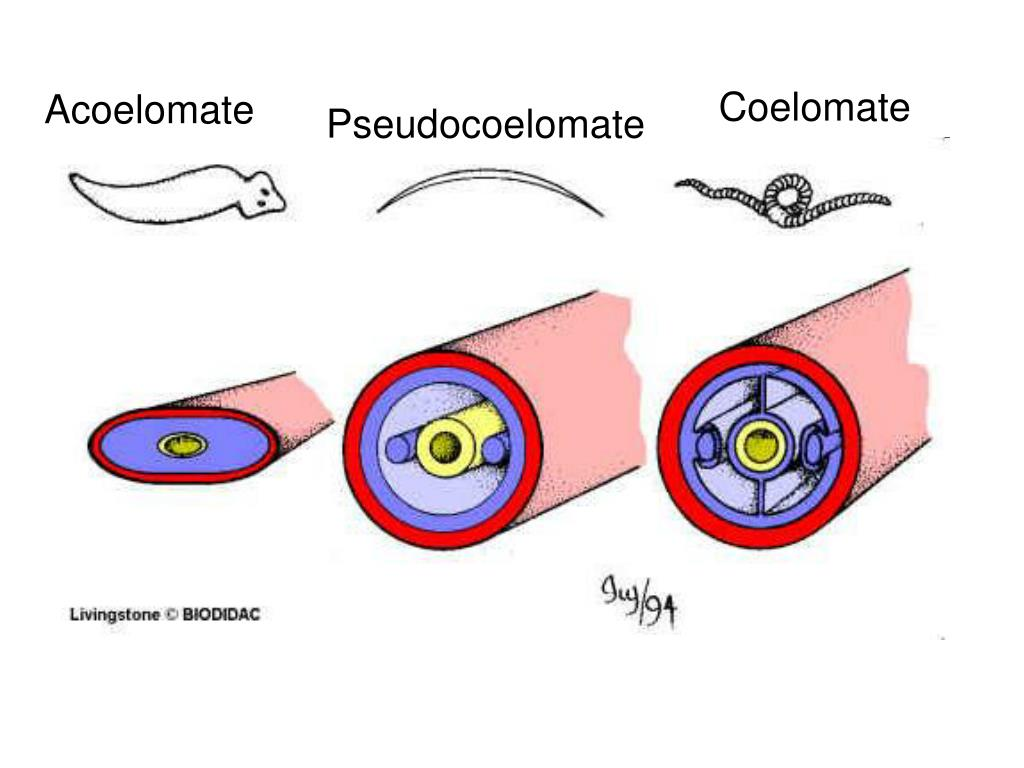 platyhelminthes acoelomate pseudocoelomate coelomate