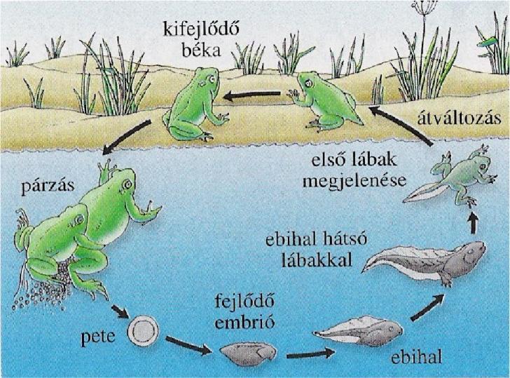 béka és láb paraziták