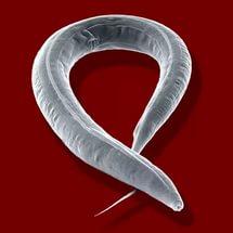 helminthic szem inváziós tünetek a paraziták étkezési organizmusok