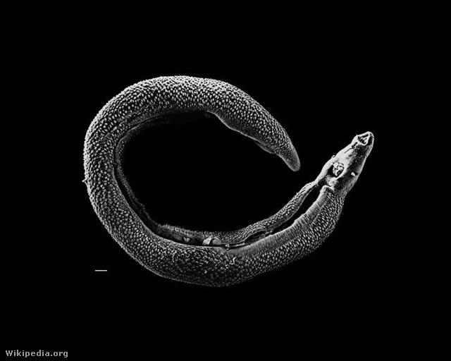 Laposférgek okozta betegségek kezelése - Sera Akvarisztika