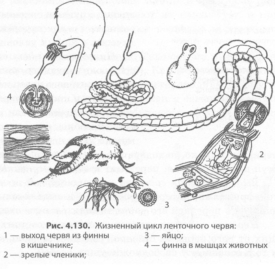 A bika szalagféreg egy kaszaféreg tanácsoljon parazita gyógyszert