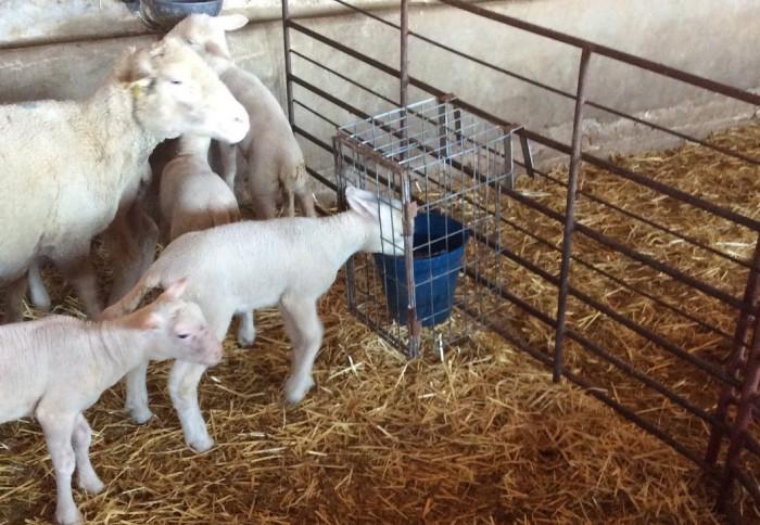 bárányok kezelése férgek számára férgek felnőttkori gyógyászatban