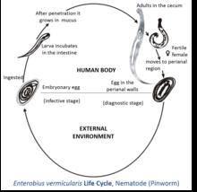 pinworm hermaphrodit vagy tabletták férgek 5 év