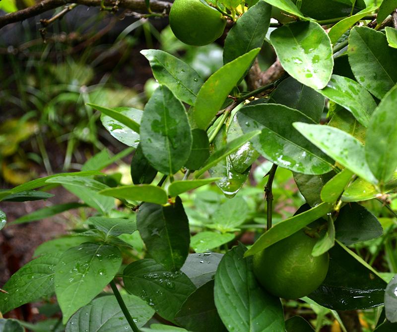 citronnier maladies paraziták fergek a szajban