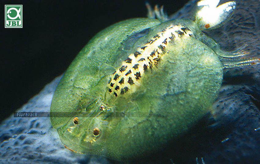 paraziták demodikózisos kezelés féregtabletták megelőzése és kezelése
