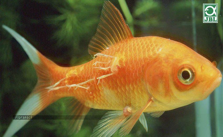 fonalféreg hal széles antitest szalag