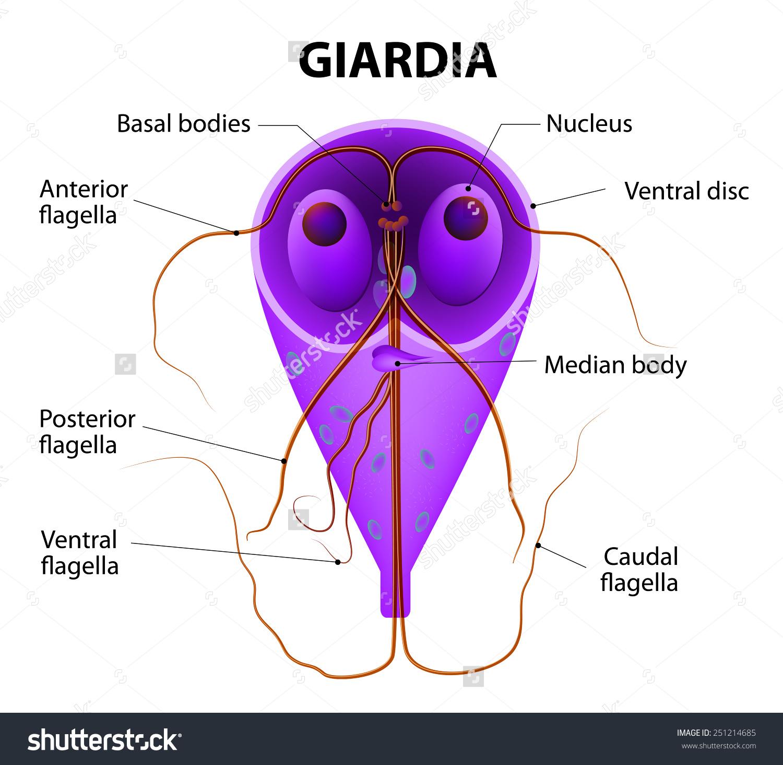 giardiasis termékek