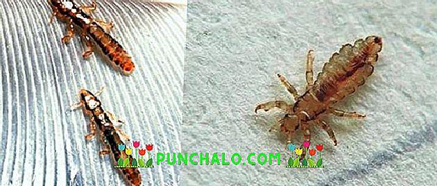 gyógynövények kerekféreg és más paraziták számára