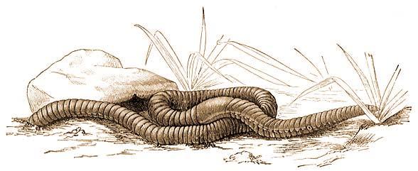 pinworm parazita gyógyszeres kezelés