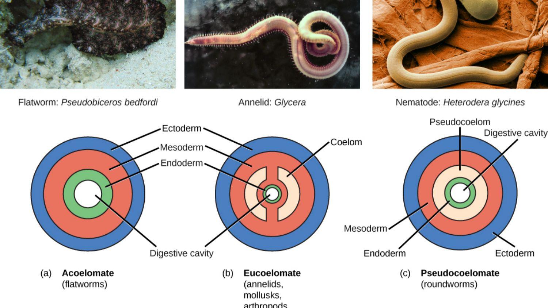 hasonlóságok platyhelminthes nematoda annelida