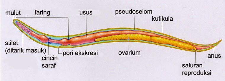 a Trichomonas termesztése