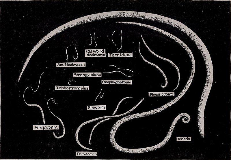 pinworm trichocephalosis igazolás az enterobiosis időszakra