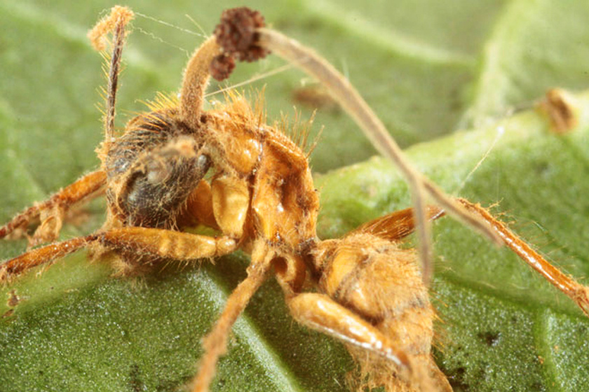 milyen gomba paraziták férgektől fertőzött férgek