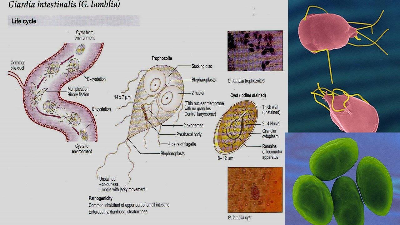 giardia human enterobiosis kód
