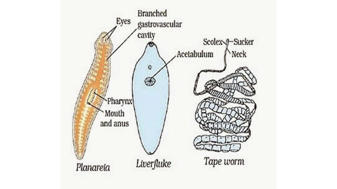 Szalagféreg dekoráció, Széles szalagféreg scolex
