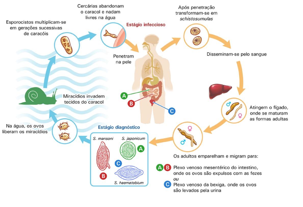 parazitaellenes gyógyszer gyermekek számára mi a veszélyes szalagféreg