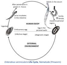 pinworm taxonómia a giardiasis fejlődési ciklusa