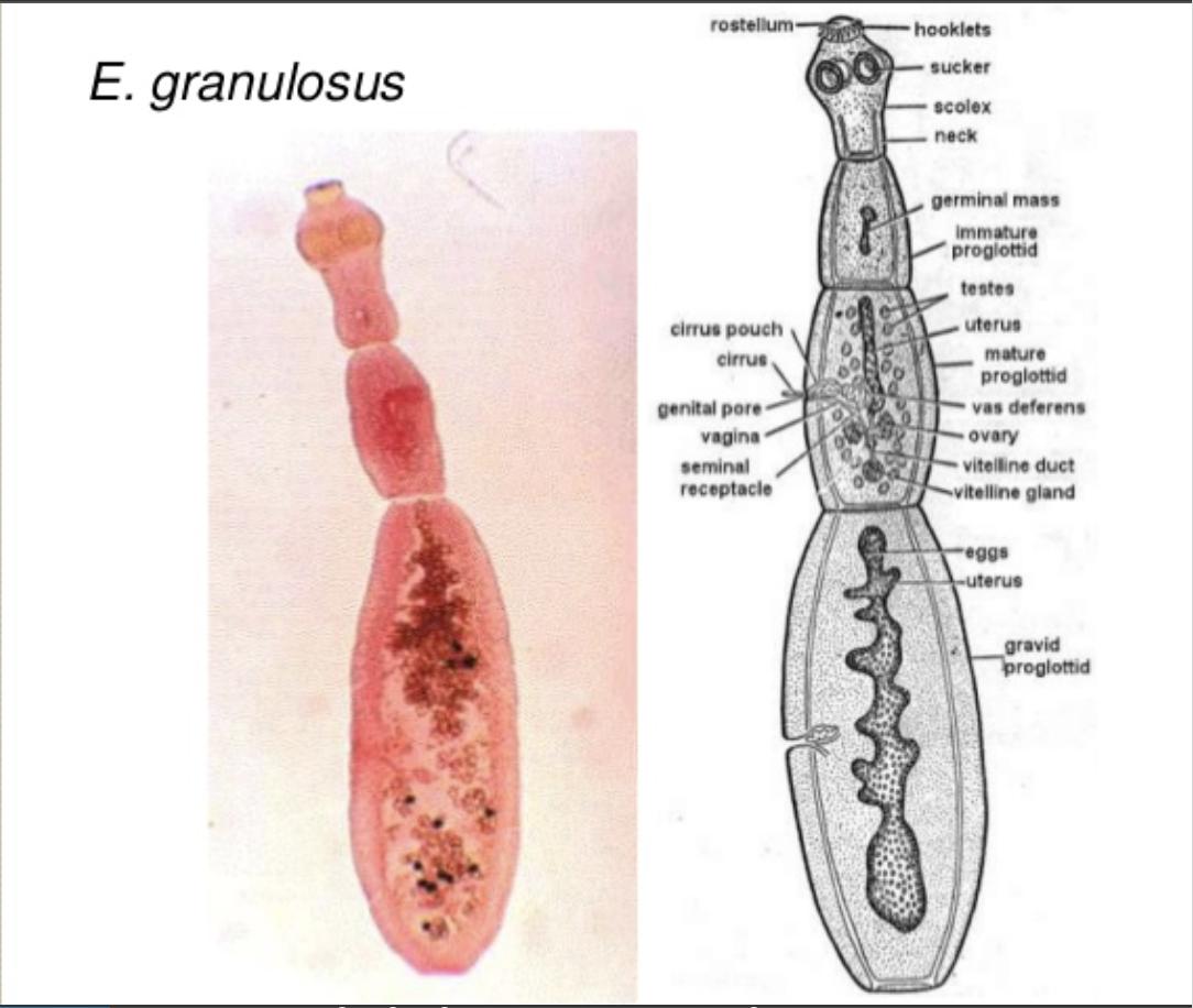 giardia steam clean fonalféreg fertozes kezelése