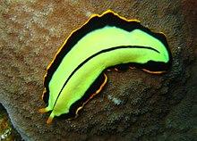 laposférgek paraziták fajai