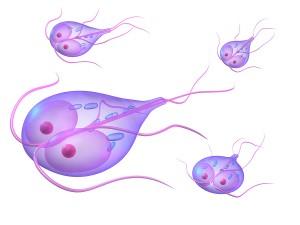 giardia parasite how long does it last diphyllobothriasis teniosis
