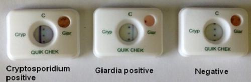 belfereg hazi patika giardiasis life cycle animation