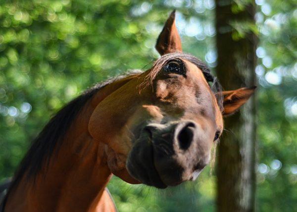 galandféreg lovaknal