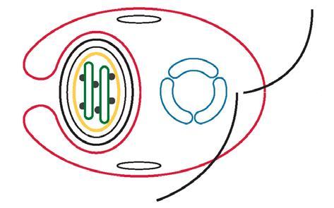 aschelminthes reprodukció rajzolja meg a kerek féreg fejlesztési ciklust