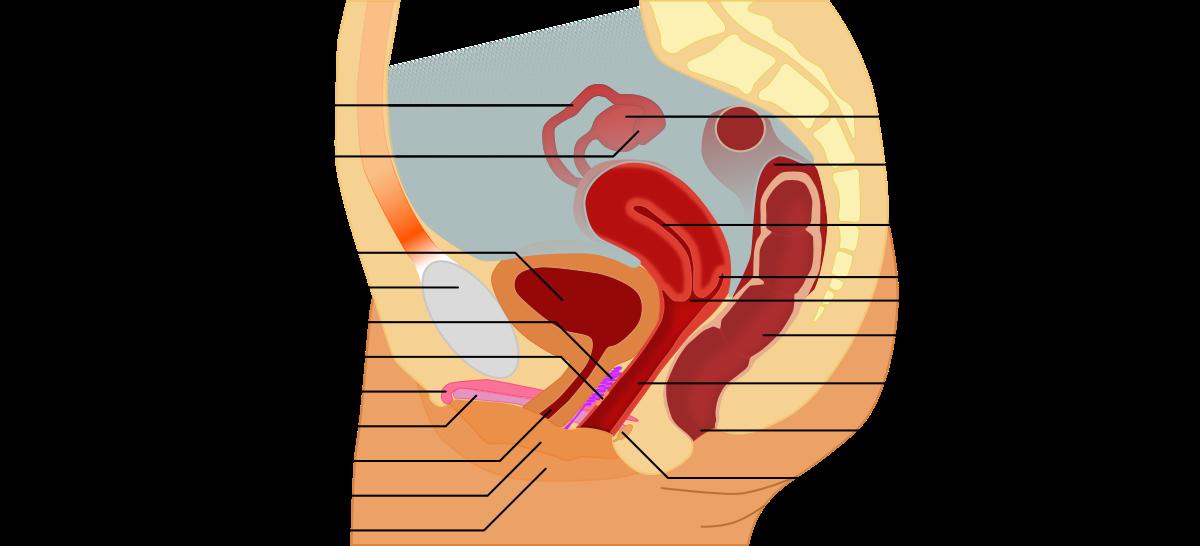 van- e a platyhelmintáknak szervei? platyhelminthes reprodukció