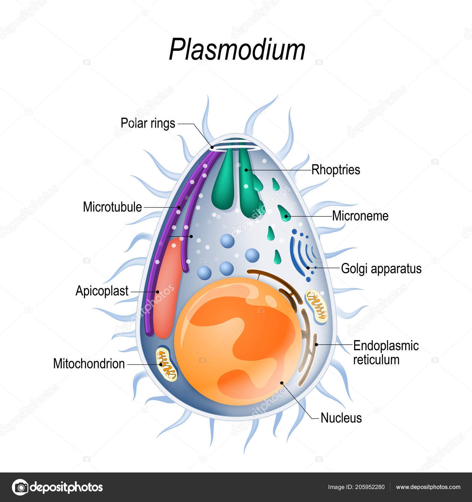 protozoaires paraziták bélben a szalagféreg egy szalagféreg