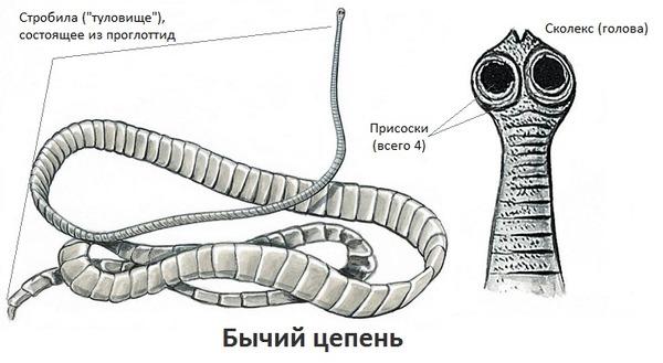 felnőtt bika szalagféreg hatékony gyógymód a férgek széles körére